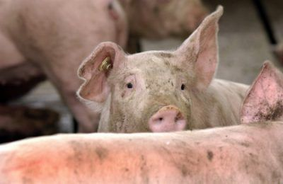 Sprijin din partea guvernului pentru crescătorii de porcine