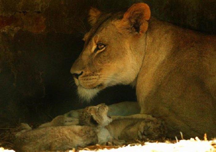Tejika, femela de leu asiatic care învață să își îngrijească puii uitându-se la documentare
